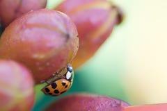 Marienkäfer auf einer Blumen-Knospe Lizenzfreie Stockbilder