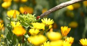 Marienkäfer auf einer Gänseblümchenblume stock video