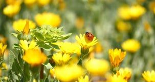 Marienkäfer auf einer Gänseblümchenblume stock footage