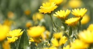 Marienkäfer auf einer Gänseblümchenblume stock video footage