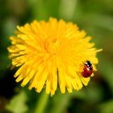 Marienkäfer auf einer gelben Blume Stockfoto