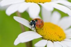 Marienkäfer auf einer Kamille stockfotos