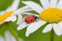 Marienkäfer auf einer Kamille stockfoto