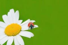 Marienkäfer auf einer Kamille stockbilder