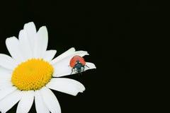 Marienkäfer auf einer Kamille stockfotografie