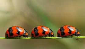 Marienkäfer auf einer Warteschlange Stockbild