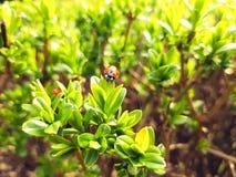 Marienkäfer auf frischem Frühlingsgrünbusch Stockfotografie