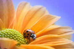 Marienkäfer auf gelbem Gänseblümchen Lizenzfreies Stockbild