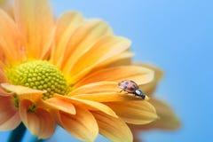 Marienkäfer auf gelbem Gänseblümchen Stockbild