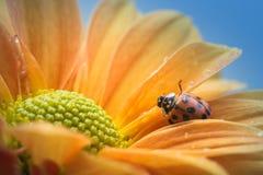 Marienkäfer auf gelbem Gänseblümchen Stockfotografie