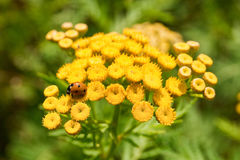 Marienkäfer auf gelben Blumen Lizenzfreie Stockfotos