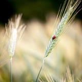 Marienkäfer auf Getreide lizenzfreies stockbild