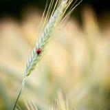 Marienkäfer auf Getreide lizenzfreie stockfotografie