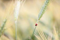 Marienkäfer auf Getreide stockfoto