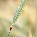Marienkäfer auf Getreide lizenzfreie stockfotos