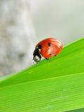 Marienkäfer auf grünem Blatt Stockbild