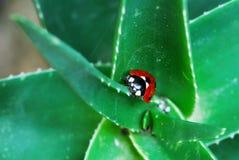 Marienkäfer auf grüner Aloe Stockbild