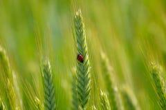 Marienkäfer auf grüner Weizenähre Lizenzfreie Stockfotografie