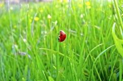 Marienkäfer auf Gras Stockbild