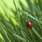Marienkäfer auf Gras Stockbilder