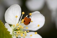 Marienkäfer auf Kirschblume Stockfotografie