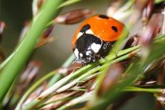 Marienkäfer auf Mais Stockbilder