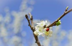 Marienkäfer auf Mandelblüte Ansicht zum Welterbeschloß von Cesky Krumlov Stockfoto