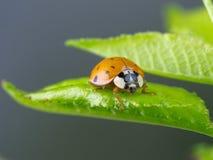Marienkäfer auf nassem grünem Blatt Stockfotos