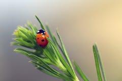 Marienkäfer auf Pflanzenblättern Lizenzfreies Stockbild