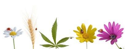 Marienkäfer auf verschiedenen Blumen Blatt und Weizen Stockfoto