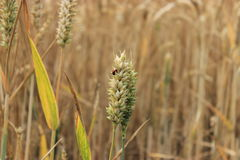 Marienkäfer auf Weizen Lizenzfreie Stockfotos