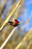Marienkäfer bereit zu fliegen stockbild