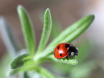 Marienkäfer Coccinella septempunctata) Lizenzfreie Stockfotografie