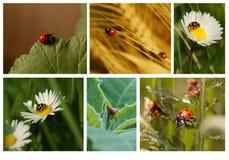 Marienkäfer-Collage Stockfoto
