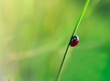 Marienkäfer in den Blättern von Mais Lizenzfreies Stockbild