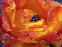 Marienkäfer in den Tautropfen Stockfotos