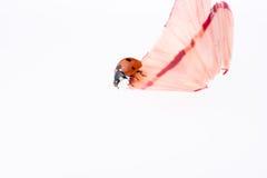 Marienkäfer, der auf Bleistiftschnitzel geht Stockfoto