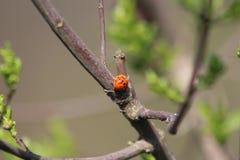 Marienkäfer, der auf der Niederlassung eines Baums sitzt Stockfotografie