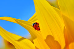 Marienkäfer, der auf die Blumenblätter einer Gelbsonnenblume jung kriecht Stockfotos