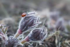 Marienkäfer, der auf eine Pasqueblume oder einen Pulsatilla gemein kriecht lizenzfreie stockfotos