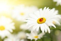 Marienkäfer, der auf einer Blume sitzt Stockfotos