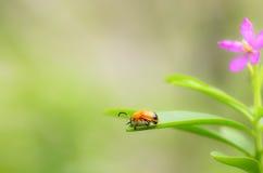 Marienkäfer, der auf grünem Blatt stationiert Stockfoto