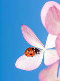 Marienkäfer, der auf rosa Blumen-Blüten kriecht Stockfotos