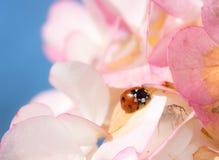 Marienkäfer, der auf rosa Blumen-Blüten kriecht Stockbild