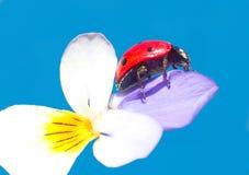 Marienkäfer in der Blume Stockfoto