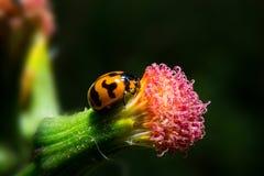 Marienkäfer, der an Blume mit Abschluss herauf ausführliche Ansicht hält Lizenzfreie Stockfotografie