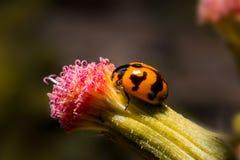 Marienkäfer, der an Blume mit Abschluss herauf ausführliche Ansicht hält Stockfoto