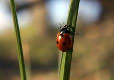 Marienkäfer, der das grüne Gras auf Sonne klettert Stockbilder