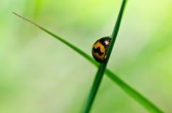 Marienkäfer in der grünen Natur Stockfotografie