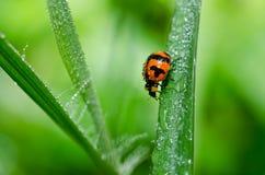 Marienkäfer in der grünen Natur Stockbild